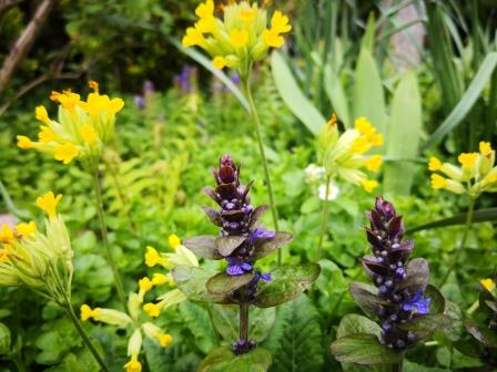 Gartenbilder im April: Günsel