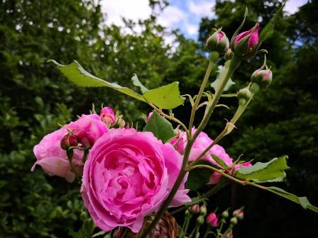 Rosen im Garten 06-19