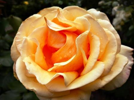 Farbenfrohe Rose