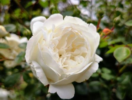 Weiße Rosen 1