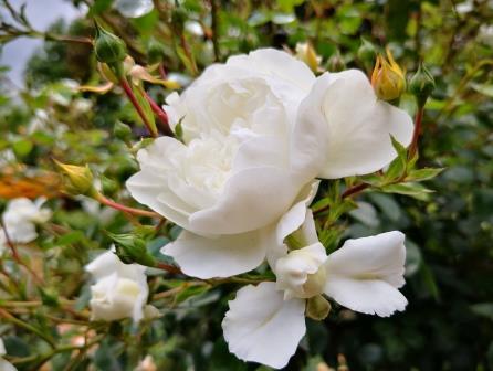 Weiße Rosen 2