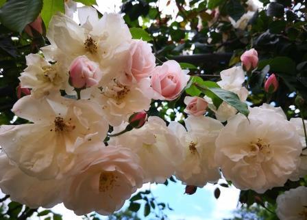 Rosen im Garten 3