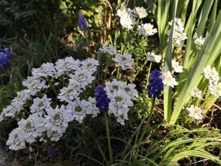 Schleifenblumen, Garten im April