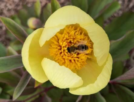 Mai-Tulpen